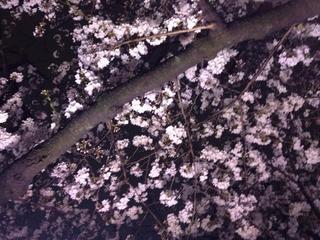 千鳥ヶ淵夜桜1.jpg