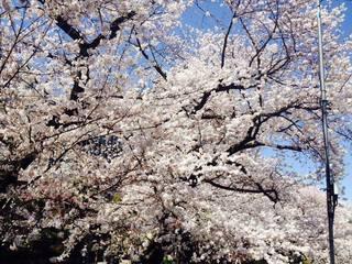 千鳥ヶ淵桜1.jpg