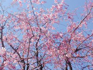 千鳥ヶ淵桜2.jpg