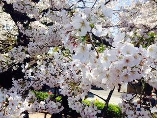 千鳥ヶ淵桜3.jpg
