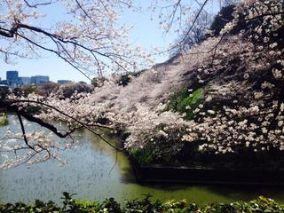 千鳥ヶ淵桜4.jpg